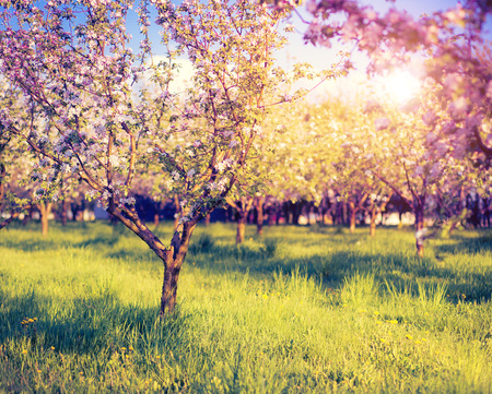 Blossoming apple orchard in spring.