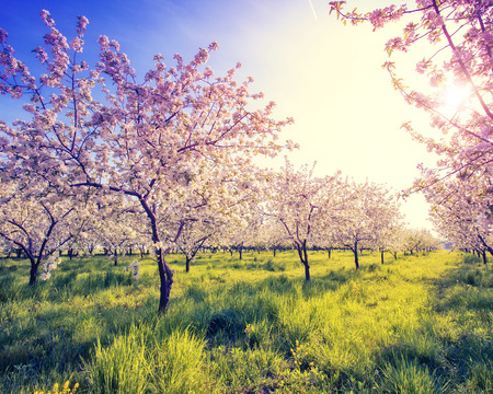 Blossoming apple orchard in spring and blue sky. Retro filtered.