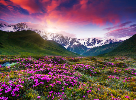 Fantastic colorful sunset and bloom rhododendron at the foot of Mt. Shkhara. Dramatic overcast sky. Upper Svaneti, Georgia, Europe. Caucasus mountains. Beauty world.