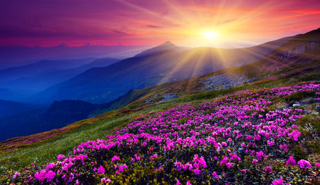 Foto de Magic pink rhododendron flowers on summer mountain. Carpathian, Ukraine. - Imagen libre de derechos