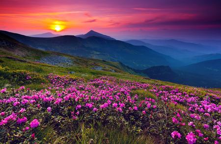 Photo pour Magic pink rhododendron flowers on summer mountain - image libre de droit
