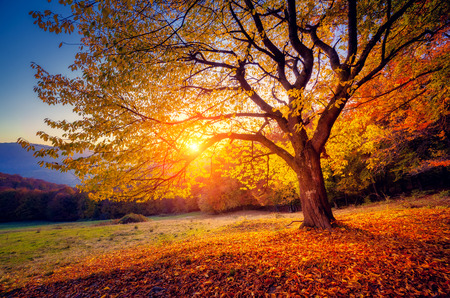 Foto de Majestic alone beech tree on a hill slope with sunny beams at mountain valley. Dramatic colorful morning scene. Red and yellow autumn leaves. Carpathians, Ukraine, Europe. Beauty world. - Imagen libre de derechos