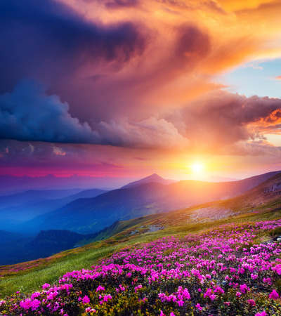 Great view of the magic pink rhododendron flowers on summer mountain. Dramatic overcast sky before the storm in Carpathian, Ukraine