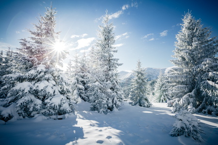 Photo pour Scenic image of spruces tree. Frosty day, calm wintry scene. Location Carpathian, Ukraine Europe. - image libre de droit