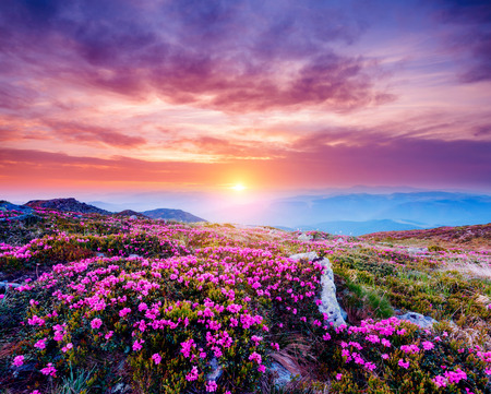 The magic rhododendron blossoms in springtime. Location Carpathian national park, Ukraine, Europe. Great picture of wild area. Scenic image of hiking concept. Explore the beauty of earth. Violet tone