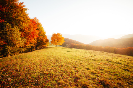 Photo pour Awesome image of the shiny beech tree on a hill slope at mountain valley. Dramatic scene. Orange and yellow leaves. Location place Carpathians, Ukraine, Europe. Beauty world. Breathtaking wallpaper. - image libre de droit
