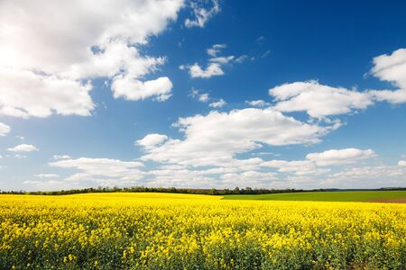 Photo pour Bright yellow canola field and blue sky on sunny day. Location rural place of Ukraine, Europe. Photo of ecology concept. Perfect wallpaper. Concept of agrarian industry. Discover the beauty of world. - image libre de droit