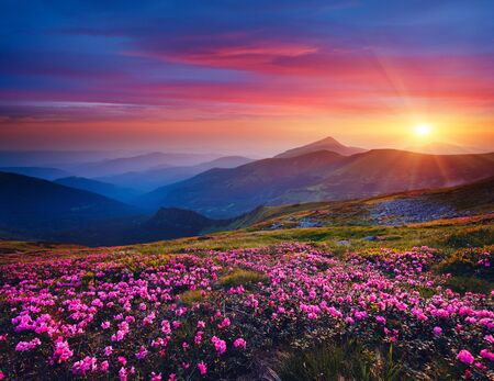 Photo pour Charming pink flower rhododendrons at magical sunset. Location Carpathian mountain, Ukraine, Europe. Beautiful nature landscape. Scenic image of idyllic summer wallpaper. Discover the beauty of earth. - image libre de droit