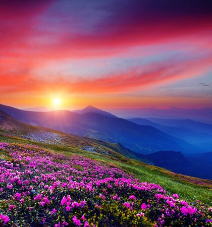 Photo pour Pink flower rhododendrons at magical sunset. Location Carpathian mountain, Ukraine, Europe. Most popular tourist destination. Scenic image of idyllic summer wallpaper. Discover the beauty of earth. - image libre de droit