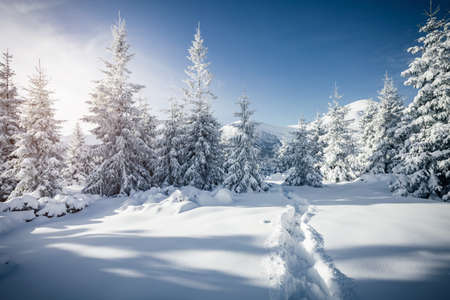 Photo pour Frosty day in snowy coniferous forest. Location place of Carpathian ski resort, Ukraine, Europe. Incredible wintry wallpapers. Christmas holiday concept. Happy New Year! Discover the beauty of earth. - image libre de droit