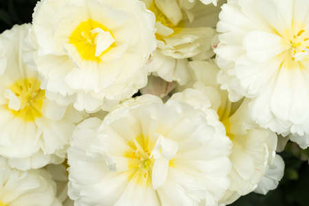 Photo pour Close-up of a white tulip seen from above on a sunny day - image libre de droit