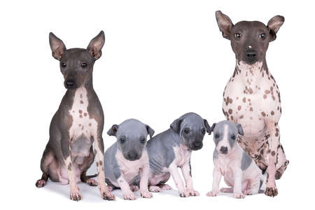 Photo for Family of American Hairless Terriers puppies and adults isolated against white background - Royalty Free Image
