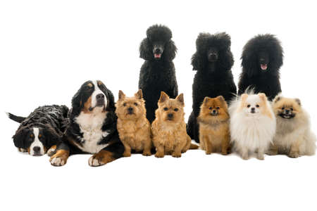 Foto für Group or pack of ten dogs sitting and lying down looking at the camera seen from the front with king poodle, bernese mountain dog, norwich terrier and pommerian dogs isolated on a white background - Lizenzfreies Bild