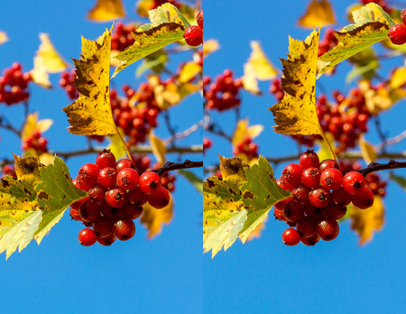 Stereo pair with ripe juicy fruits of hawthorn.. Use these images to make a 3D image in the format of your choice - red, cyan anaglyph, animated gif, interlaced etc.