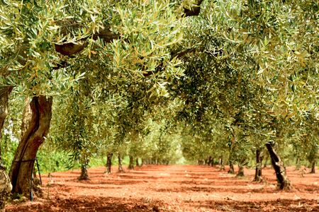 Photo pour Background with a path of olive trees on a cultivated field in Sicily in summer - image libre de droit