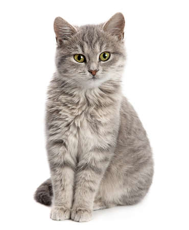 Photo pour Gray cat sitting isolated on white background - image libre de droit