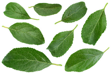 Photo pour Blue plum fruit leaf isolated on white - image libre de droit