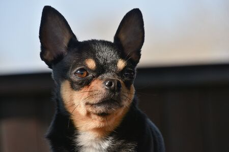 Photo pour Pet dog walks on the street. Chihuahua dog for a walk. Chihuahua black, brown and white. Cute puppy on a walk. Dog in the garden or in the park Well groomed dog Chihuahua mini smooth haired - image libre de droit