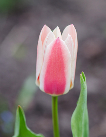 Pink on white ground tulip with mottled leaves. Colorful nature background of tulips