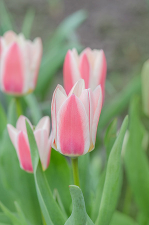 Pink on white ground tulip with mottled leaves