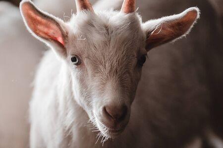 Foto de Domestic goats in the farm.  Little  goat in the barn standing in wooden shelter - Imagen libre de derechos