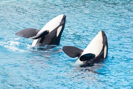 Photo pour Two killer whale playing in lagoon. - image libre de droit
