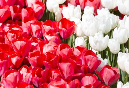 Photo pour bed of tulips growing in spring garden tulips - image libre de droit