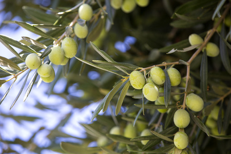 Fruit of the olive tree