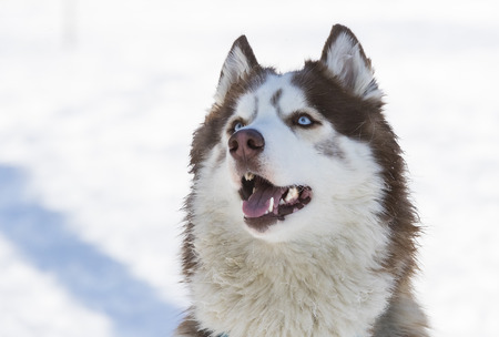 Siberian husky dogs for a walk in the winter park.