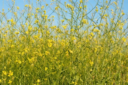 yellow wild flowers against the background sky