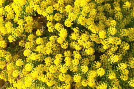 many sun yellow round wild flowers