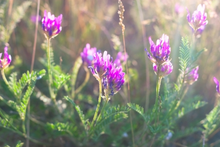 light violet wild flowers in the sunlight