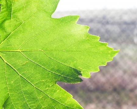 natural ecology background - green transparent vine leaf, horizontal