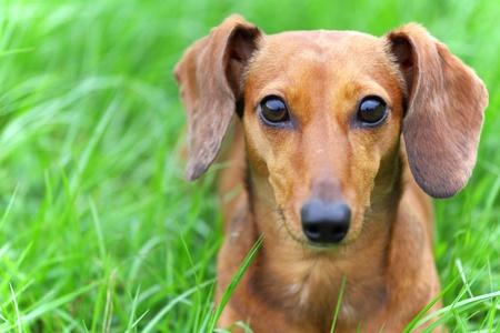 Photo pour dachshund dog in park - image libre de droit