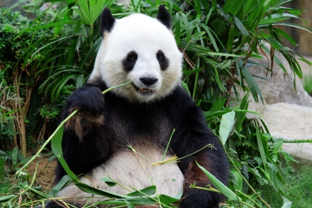 Giant Panda Bamboo