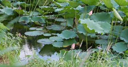 Photo pour Lotus lake pond - image libre de droit