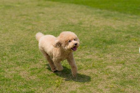 Foto de Dog poodle run in the park - Imagen libre de derechos