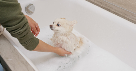 Photo for Pomeranian dog take bath - Royalty Free Image