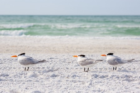 Royal terns sea birds stand on Siesta Key beach in Florida
