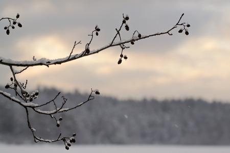 Cones on the tree, winter, closeup, Russia