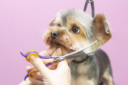 Photo for Dog gets hair cut at Pet Spa Grooming Salon. Closeup of Dog. The dog is trimmed with scissors. pink background. groomer concept - Royalty Free Image