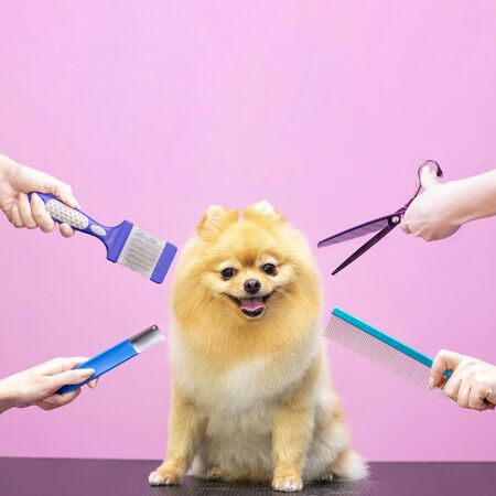 Foto de Professional cares for a dog in a specialized salon. Groomers holding tools at the hands. Pink background. groomer concept. Square photo - Imagen libre de derechos