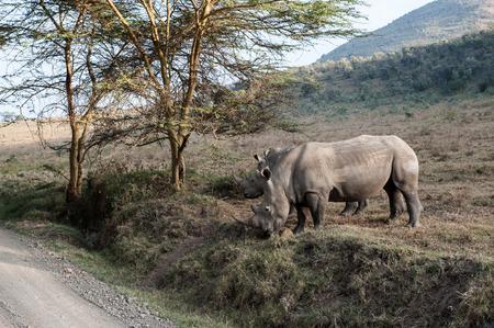 rhino in the savannah of africa