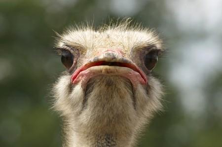 Photo pour Head of African Ostrich  - image libre de droit