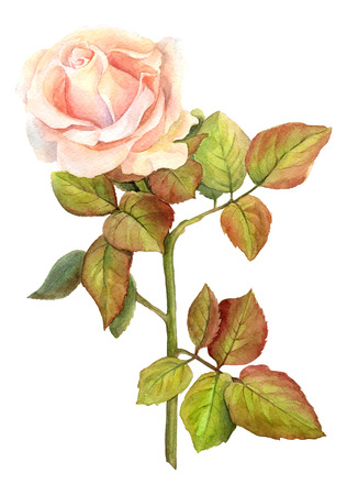 Rose watercolor. illustration for greeting cards, invitations, and other printing and projects.
