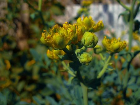 Yellow flower rue