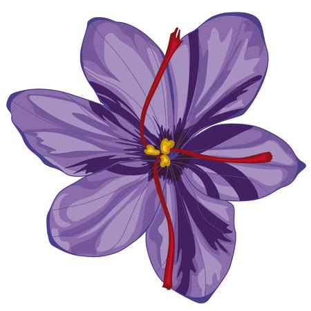 Illustration pour Lilac crocus blossoms. Stock illustration. Isolated image on white background. - image libre de droit