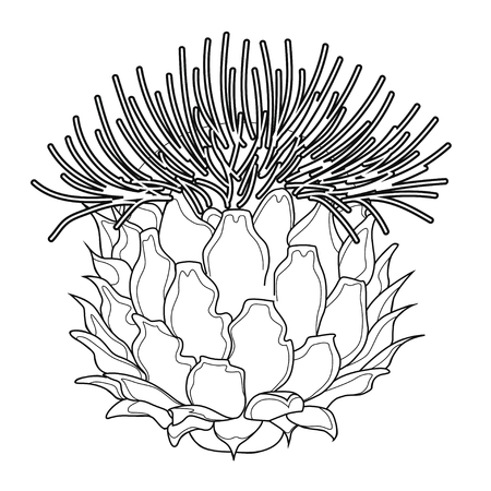 Thistle blossoms. Coloring book. Stock illustration. Isolated image on white background.