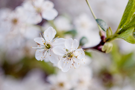 The flowering tree. Close-up of flowers on the branches, spring background. Shallow depth of field. A soft picture