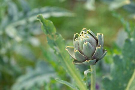 Photo pour Fresh green artichoke growing in a garden, it is a vegetables for a healthy diet. - image libre de droit